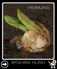 Afghan Kush Hanfsamen keimung