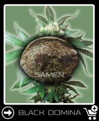 Eine Samen von Black Domina