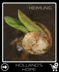Hollands Hope Hanfsamen keimung
