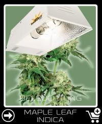Welche Beleuchtung für Maple Leaf Indica