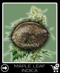 Eine Samen von Maple Leaf Indica