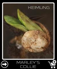 Marley S Collie Hanfsamen keimung