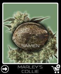 Eine Samen von Marley S Collie