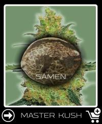 Eine Samen von Master Kush