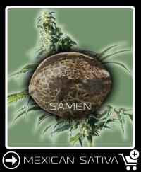 Eine Samen von Mexican Sativa