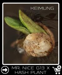 Mr Nice G13 X Hash Plant Hanfsamen keimung