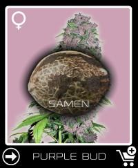 Eine Samen von Purple Bud Feminisierte