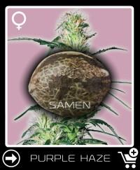 Eine Samen von Purple Haze Feminisierte
