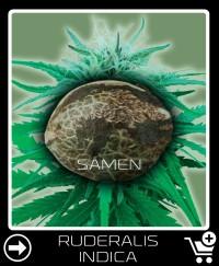 Eine Samen von Ruderalis Indica