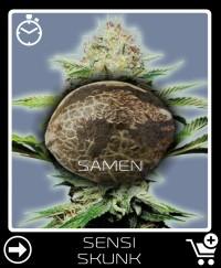Eine Samen von Sensi Skunk Selbstblühende