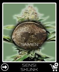 Eine Samen von Sensi Skunk