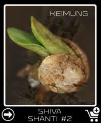 Shiva Shanti 2 Hanfsamen keimung