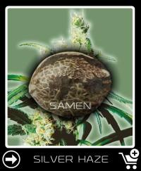 Eine Samen von Silver Haze