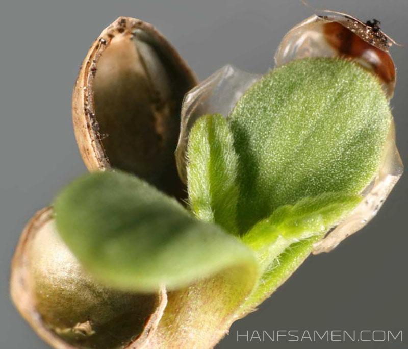 Hanfsamen kaufen.  Cannabis  Samen für den Hanfanbau