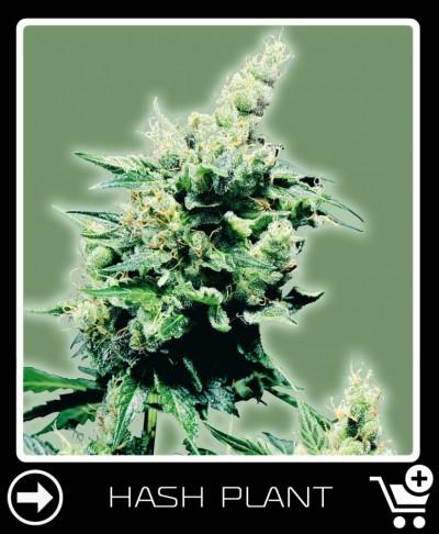 hash plant mit Extrem hoher Ertrag