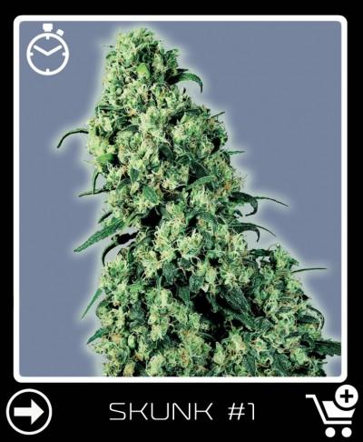 Automatisch blühendes cannabis